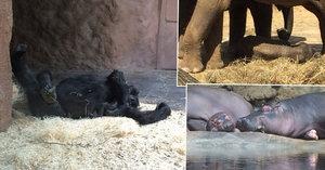 Po jídle šlofíka. Mláďata z pražské zoo v teplém počasí spokojeně lenoší