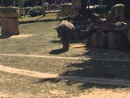 Slonice Tamara je široká »jako skříň«: Zoo Praha očekává narození dalšího slůněte