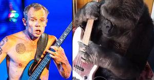 Muzikant z Red Hot Chili Peppers si zabrnkal s opicí: Gorila Koko na jeho basovku válela