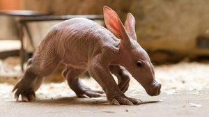 V pražské zoo ukázali mládě hrabáče. Celý den lenoší, přes noc musí od matky pryč
