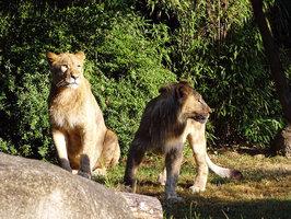 Dva lvi utekli z výběhu. Zoo v Lipsku musela jednoho z nich zastřelit