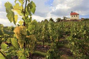 Jaké bude víno z Botanické zahrady v Praze? Na vinici sklidili přes 23 tun hroznů