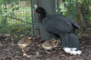 Vzácní novorozenci v pražské zoo: Vylíhla se historicky první ptáčata hoka přilbového
