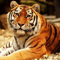 Zoo Praha přivítala ostravskou tygřici Maju. Její původní domov čeká demolice