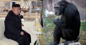 Kuriózní atrakce v severokorejské zoo: Kouřící šimpanz vyhulí krabičku denně!