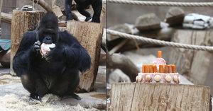 Snědl celý dort sám! Gorilí samec Richard oslavil 25. narozeniny po svém
