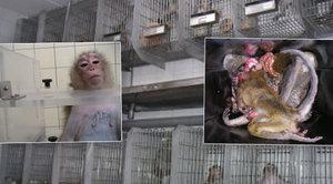 Píchání jedu do žaludku, vyvolaná rakovina: Takhle mají opice pomoct lidstvu