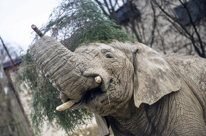 Smutek v zoo ve Dvoře Králové. Uhynul tu samec slona afrického Kito