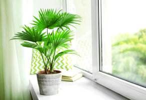 Pěstování pokojové palmy zvládne i úplný začátečník! Jak na to?