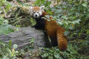 Zoo Praha získala roční pandí samičku Wilmu: Pochází ze Švédska