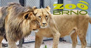Zoo Brno slaví úspěch: Po 14 letech se sem vrátili lvi konžští!