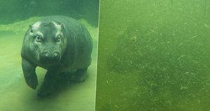 Zoo v Praze uzavřela Pavilon hrochů: Rodinka ve špinavé vodě nebyla vidět