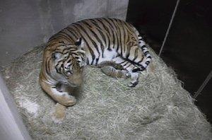 Radostná zpráva z pražské zoo: Narodila se dvě mláďata vzácného tygra malajského