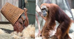 Mají spolu mít mláďata, zatím si jen hrají: Orangutaní schovávaná