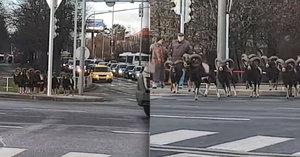 VIDEO: Stádo muflonů si to štrádovalo pražskou Krčí. Na křižovatce počkali na zelenou