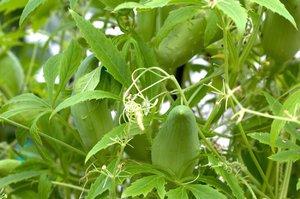 Jak pěstovat ačokču? Snadno vyroste ze semen, chutná podobně jako paprika