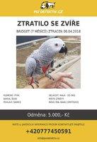 Internet pátrá po Bridget: Popelavý papoušek se vyvlíkl majiteli z kšírů