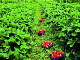 Čas výsadby jahod je tu!