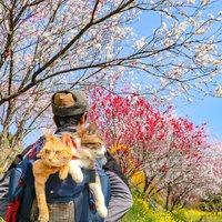 Tomu neuvěříte! Seznamte se s kočkami, které procestovaly už celé Japonsko