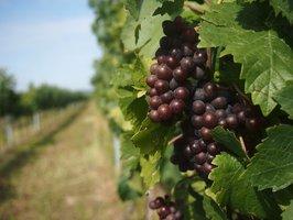 Nevstupovat! Vinaři zamykají vinice!