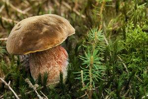 Hřib kovář: Skvělý na houbovou omáčku, horší na sušení. Jak ho v lese poznat?