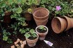 Když už má nová rostlinka kořeny, je třeba ji zasadit. Potřebujte k tomu nádoby se substrátem, který by měl být vzdušný, aby dobře přijímal vodu.