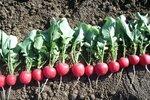 Na volné záhony po rané zelenině můžete vysít třeba ředkvičky.