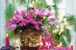 Stálice mezi svátečními květinami - to je vánoční kaktus!