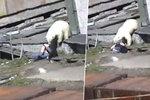 Lední medvěd se Ludmile zakousl do zadku.
