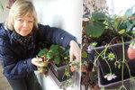 Opravdu je únor? Na  Uherskohradišťsku se chystají sklízet jahody!