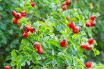 Dozrávají šípky! Jak je sbírat, sušit a jak správně udělat čaj plný vitamínů