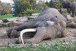 Slon africký spí jen dvě hodiny denně. Slonice jsou vzhůru i několik nocí