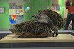 """Sex v přírodě odhaluje olomoucká výstava. Popíchají se při """"tom"""" ježci?"""