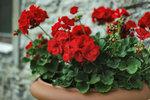 Přemýšlíte, jak ozdobit své balkony či terasy? Pelargonie jsou tou nejlepší volbou! Mají krásné drobounké kvítky a nepotřebují mnoho péče. Poradíme vám, jak muškáty pěstovat a jak se o ně po zimě postarat, aby vám kvetly až do podzimu.