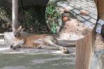 Turisté ukamenovali klokana v zoo: Chtěli, aby skákal