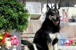 O tom, že pes je nejvěrnější přítel člověka, není pochyb. Pokud mu dopřejete dostatečnou péči a lásku, vrátí vám jí třikrát tolik. Stejně tak jako Kapitán, kterému jeho zesnulý majitel natolik chyběl, že pes každou noc po dobu dlouhých jedenácti let usínal na jeho hrobě. A nedávno na tom stejném místě také zemřel.