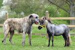 Nejmenší kůň Británie je stejně veliký jako vlkodav