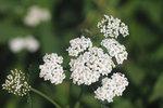 Řebříček najdete skoro na každé české louce. Tuto bylinku můžete vyzkoušet nejen při potížích s menstruací, ale také jako pomoc při špatném se zažívání.