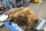 Zanedbaného psa zabila málem vlastní srst.