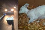 Dramatická záchrana bílé srnky na Plzeňsku: Zvířeti chtěli pomoci řidiči, mělo ale vnitřní zranění