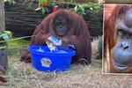 Orangutan si na videu myje ruce: Umí to líp než vy?