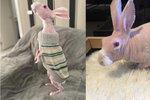 Bezsrstý králík unikl jen o vlásek eutanázii.