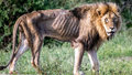 Srdceryvné fotografie z afrického safari: Vyhublá troska bývala kdysi králem džungle. Příběh lva má smutný konec.
