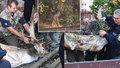 """Zvířecí záchranáři """"lovili"""" v centru Plzně zatoulaného daňka."""