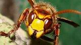 Vosy, včely, čmeláci, sršni. Letní příroda skrývá smrtelné nebezpečí