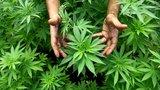 »Kulinář« zatajil kolegům marihuanu v sušenkách a nechal je koštovat: Čtyři odpadli