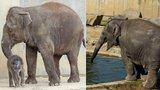 Smutná zpráva ze Zoo Ostrava: Opečovávané slůně Sumitra uhynulo