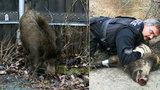Totální nasazení kvůli jednomu kanci: Policista zalehl divočáka vlastním tělem!