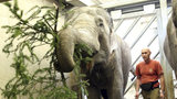 Sloni a kopytníci recyklují vánoční nádheru. Smlsli si na větvích ze Staromáku