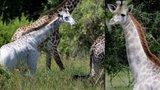 Unikátní objev: Už jste někdy viděli bílou žirafu? V Tanzanii se jedna taková prohání